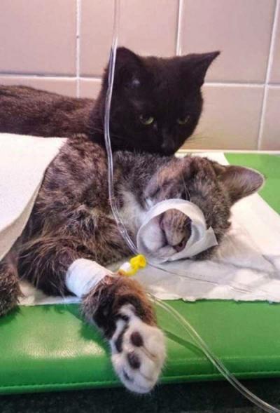 Conheça o gato enfermeiro Rademenesa