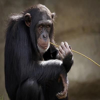 Quais são os animais mais inteligentes do mundo e como sabemos?