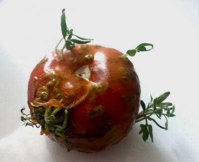 O que acontece quando frutas e legumes brotam muito cedo? #2