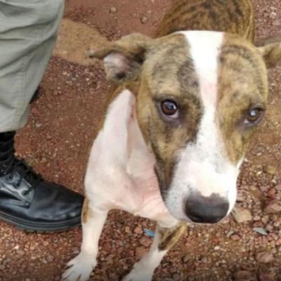 Cãozinho herói defende a família de ataque de homem armado com faca