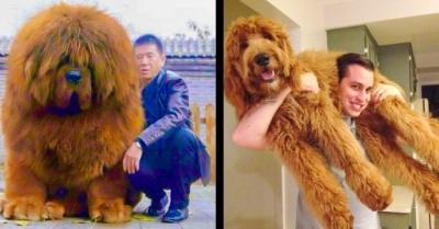 16 cães tão grandes que você não vai acreditar que são reais.