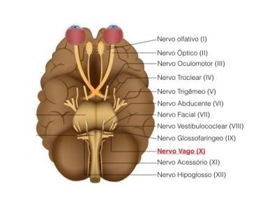 Nervo Vago: o que é, anatomia e principais funções