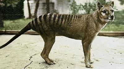 Veja um vídeo em cores do último Tigre-da-tasmânia