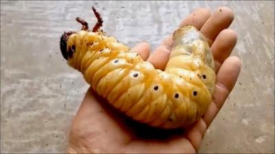 Você não vai acreditar no tamanho desse inseto
