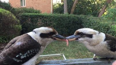 Esses pássaros simplesmente não querem dividir