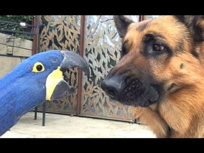 Papagaios adoram implicar com cães