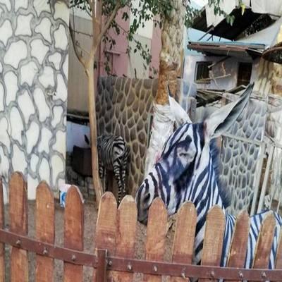 Deu zebra! Zoológico tinge burro com listras pretas e é denunciado por visitante
