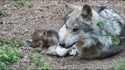 Filhotes de lobo tiram o dia para atazanar seu pai