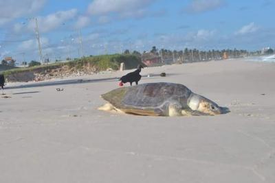 O lixo jogado na praia vem matando as tartarugas