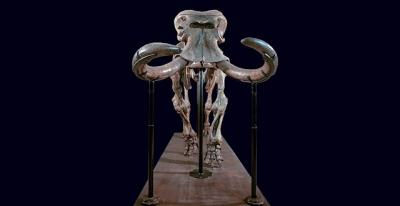 Um dos maiores mamíferos terrestres de todos os tempos evoluiu para um elefante