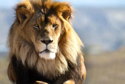 Extintos em dezenas de países, leões agora estão ameaçados em seu principal rein