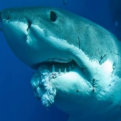 É verdade que tubarões não podem ter câncer?