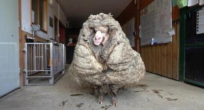 É assim que uma ovelha se parece após cinco anos sem tosar