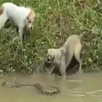 Sem noção do perigo cães perseguem cobra em lago