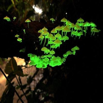 A beleza dos cogumelos bioluminescentes