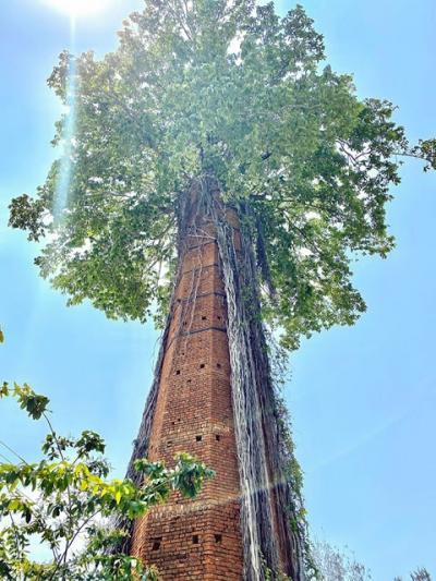Essas árvores se recusam a morrer a todo o custo #4