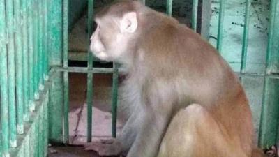 Macaco alcoólatra mata um e fere 250 por abstinência de bebida