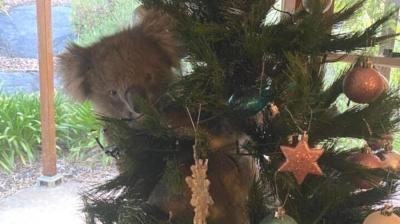 Um enfeite diferente: Família encontra coala pendurado em árvore de Natal