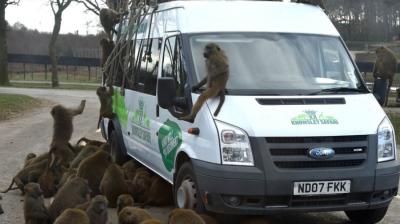 Macacos armados com facas e motosserras são vistos em safári no Reino Unido