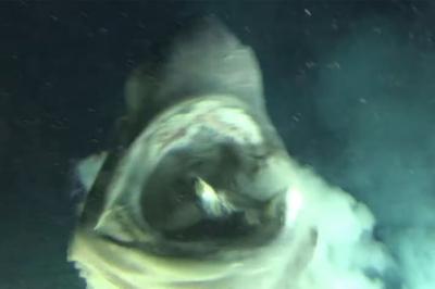 Tubarão raro decide dar um oi pra submarino