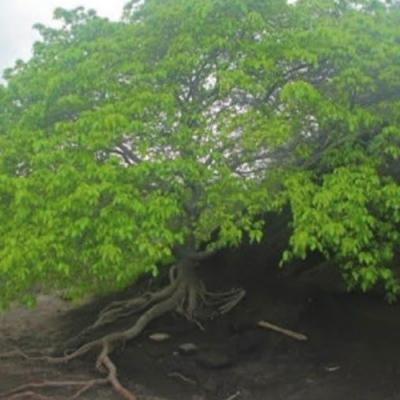 Conheça a árvore da morte, a mais perigosa do mundo