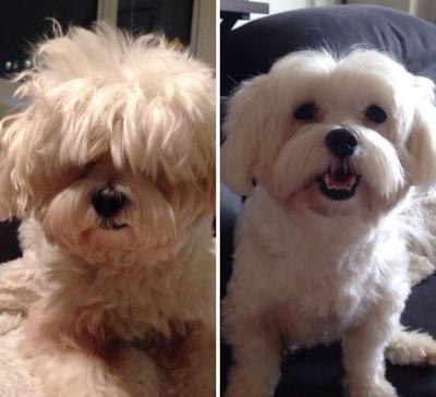 Cães antes e depois de sua tosa