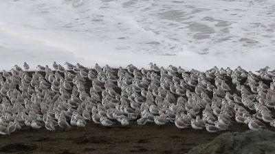 Pássaros se juntam na praia, apenas para fugir das ondas