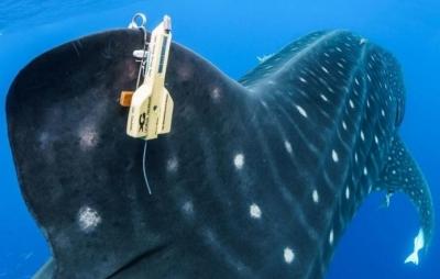 Cientista quer ajuda de brasileiros para achar rastreador de tubarões