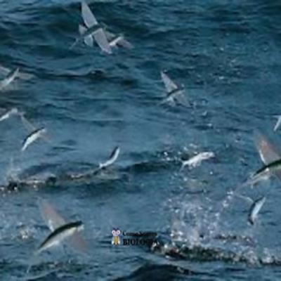 Será que peixes podem voar?