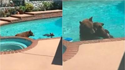 Ursa leva seu filhote para tomar banho de piscina em residência dos EUA