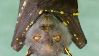 Super imunidade: cura para o Covid-19 pode estar nos morcegos