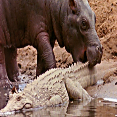 Sem noção de perigo bebê hipopótamo brinca com crocodilo