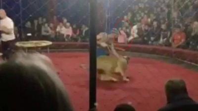 Domador perde controle e leoa ataca criança