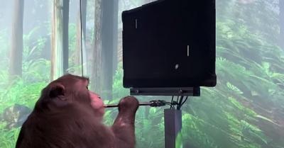 Macaco usa sua mente para jogar Pong