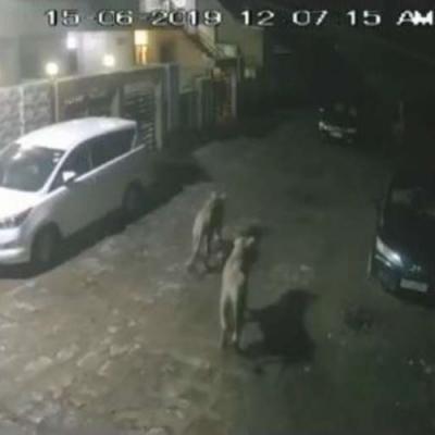 Câmeras flagram leoas caçando dentro de cidade na Índia