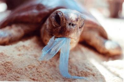 Triplica número de tartarugas mortas anualmente por lixo nos Lençóis Maranhense