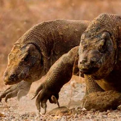 Fatos interessantes sobre dragões de Komodo