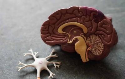 Mutação em gene pode explicar como ocorre o crescimento do cérebro