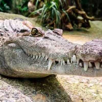 Por que os crocodilos mudaram tão pouco desde a era dos dinossauros?