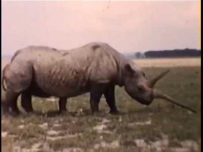 Vídeo raro dos anos 50 mostra o maior rinoceronte do mundo