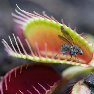 Predadoras do mundo vegetal: conheça as plantas carnívoras