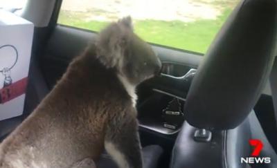 Coala invade carro quando motorista se distrai
