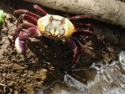 Respeitem o período de reprodução do caranguejo