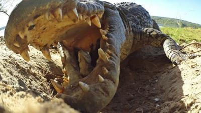 Assista e se surpreenda ao ver como essa mãe crocodilo protege seus filhotes