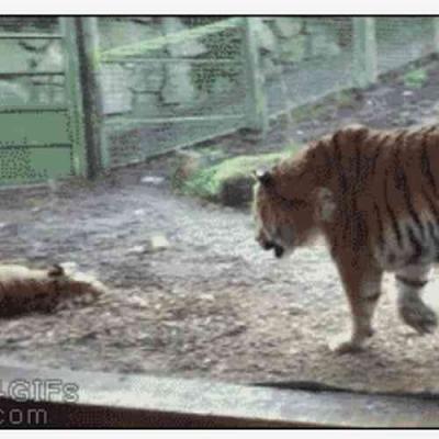 Nunca assuste um Tigre!
