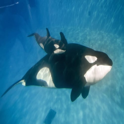 Veja o momento do nascimento de uma baleia assassina