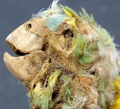 Pássaros mumificados no deserto de Atacama revelam um lado negro da história