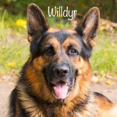 Fotos da raça de cão 🐕 - Pastores Alemães