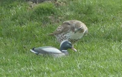 Falcão fica muito confuso ao atacar pato falso