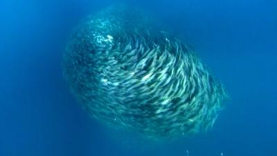 Furacão gigante de peixes assusta até mesmo tubarões
